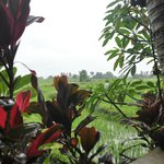 the wet ricefields and tropical gardens, during a morning drizzle