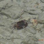 Red eyed crab at Beach number 5 trying run before being clicked