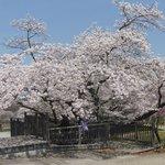 アルプス公園桜_2