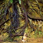 Famous tree roots on Furman property