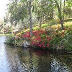 Azaleas starting to bloom by rice mill pond