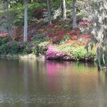Azaleas reflecting off the pond