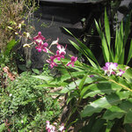 Ochids in our garden