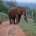 Elephant with 5th leg