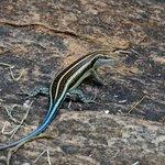 Unidentified lizard