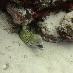 Honeycomb Moray Eel on outer reef