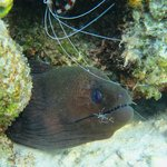 Banded Cleaner Shrimps keep company to Moray eels