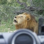 Big game viewing at Londolozi