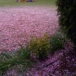 Blossoms carpeted the lawn, Easter 2014