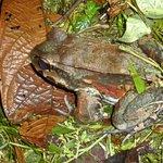 Smoky Jungle Frog?