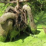 'Artistic' Cypress Knees - tree roots look like a constrictor