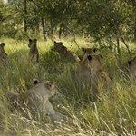 Jackpot ( spot 11 lioness )