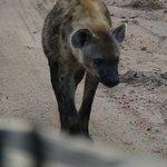 hyena - morning drive spot