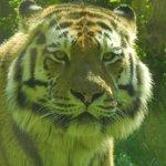 l'affascinante tigre