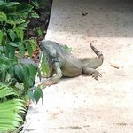 Iguana near swimming pool at Selva Verde Lodge