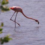 Wild flamingo shrimping.