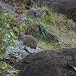 Hyrax outside the tent