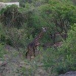 Giraffe near parking area