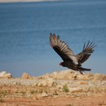 American vulture taking off from a shore
