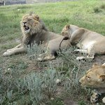 The close encounter with lions