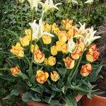Paradise for tulip fans