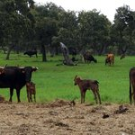 Cows and young calves