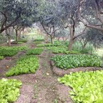 Olive trees and salad growing on the terraces of the agritourism