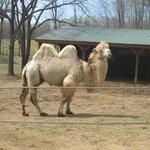 White Camel