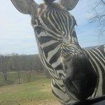 Zebra looking in the back window