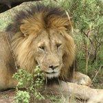 Lion selfie..