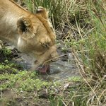 Lioness having a quick drink