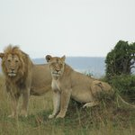 A lion king type of moment.. (a mating pair)