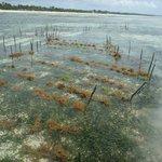 A seaweed farm..