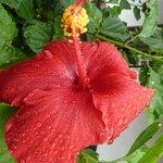 Prächtiger Riesen-Hibiscus