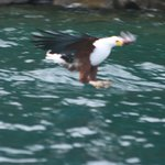 Fish Eagle on approach to grab fish