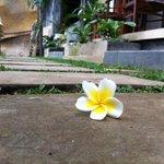 frangipani flowers überall