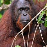 Orangutan at the Centre