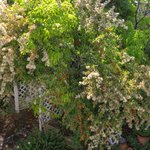 Garden entrance in front of house.  Pyrocantha berries and blooming.