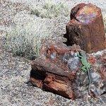 Lizard on Petrified Tree log
