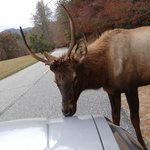 Elk licking car hood