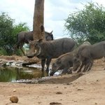 Warthogs from the underground hide
