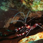 Red Coral Banded Shrimp