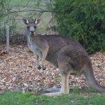 Kangaroos all around!