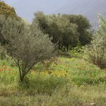 Olive trees and meadow