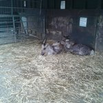 Reindeer snuggled down for the night