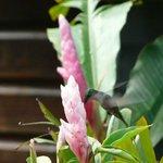 Le colibri qui vient butiner à 8h tous les matins