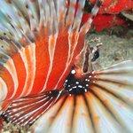 Крылатка или Leon fish - яд вызывает паралич