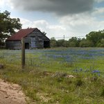 Bluebonnets everywhere around the ranch
