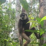 Gibbons hanging out at Camp Leakey