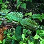 Basilisco en P.N. Tortuguero